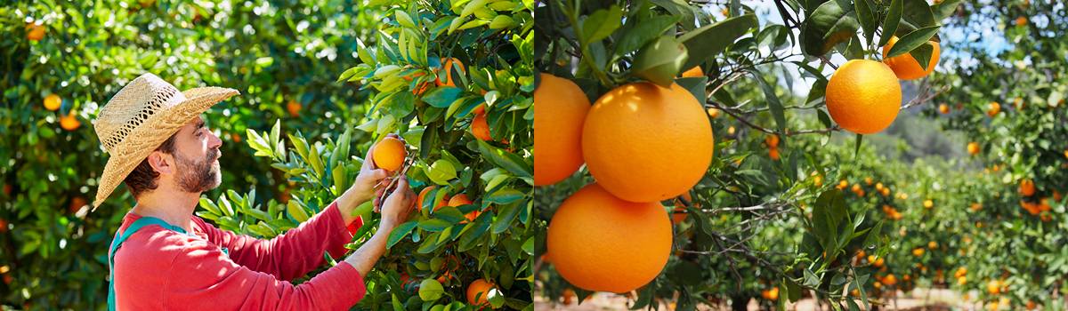 Killala Creek Citrus implemented 'smart farming' technologies to future-proof its business.
